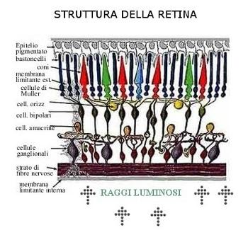 Un gene per rigenerare la retina