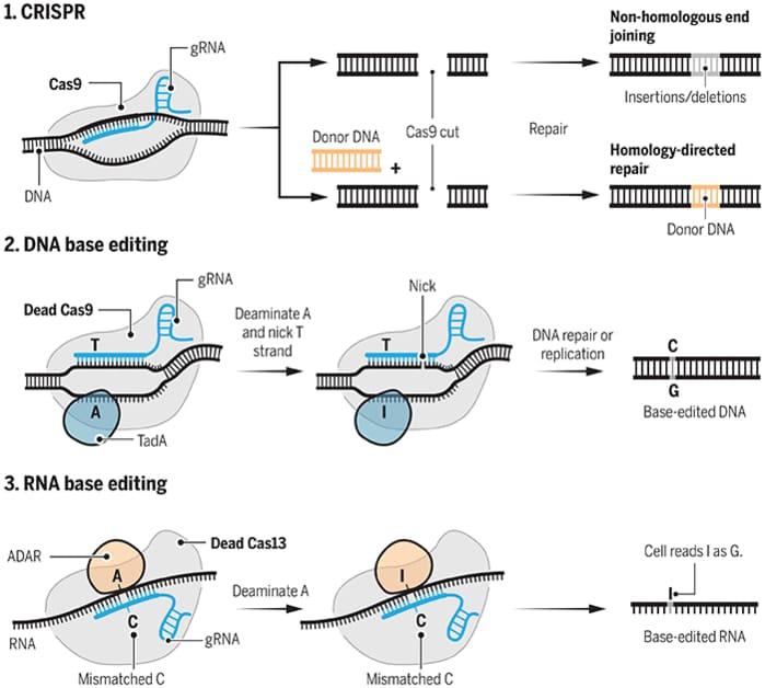 Sulla base di CRISPR, nuovi progressi della terapia genica