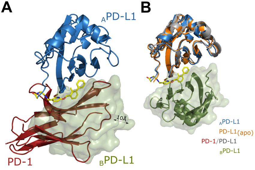 Colpire PD-1 per far crescere i linfociti