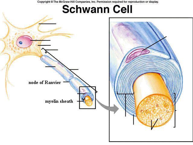 Sopprimere l'attività di Bace1 porta importanti deficit neurologici