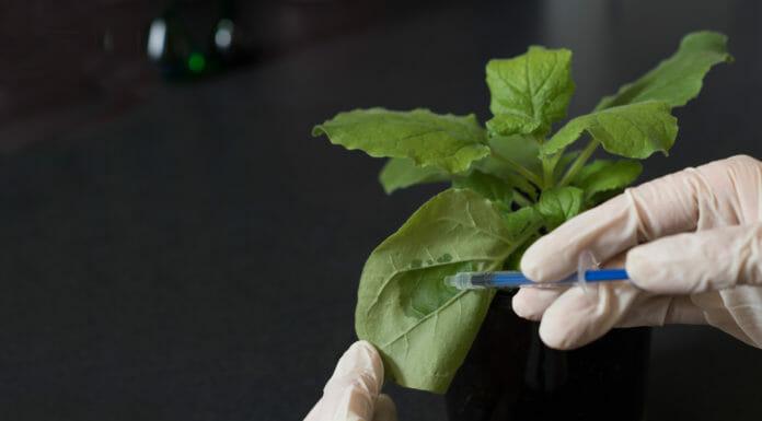 pianta del tabacco newcotiana