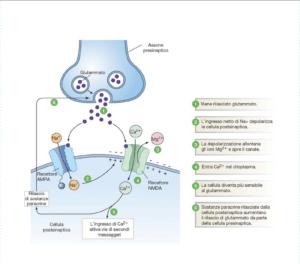sinapsi ampa funzionamento