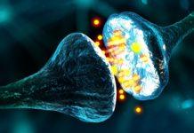come funzionano le sinapsi e come vengono regolate