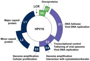 HPV virus oncogeno grazie a particolari geni
