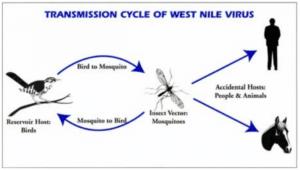 west-nile-virus-trasmissione