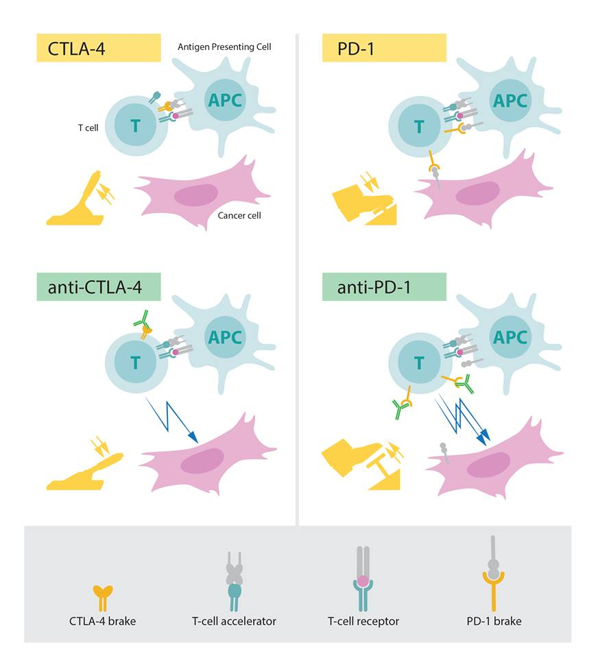 Una scoperta da premio nobel: le basi dell'immunmoterapia