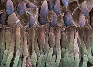Retina rod cells