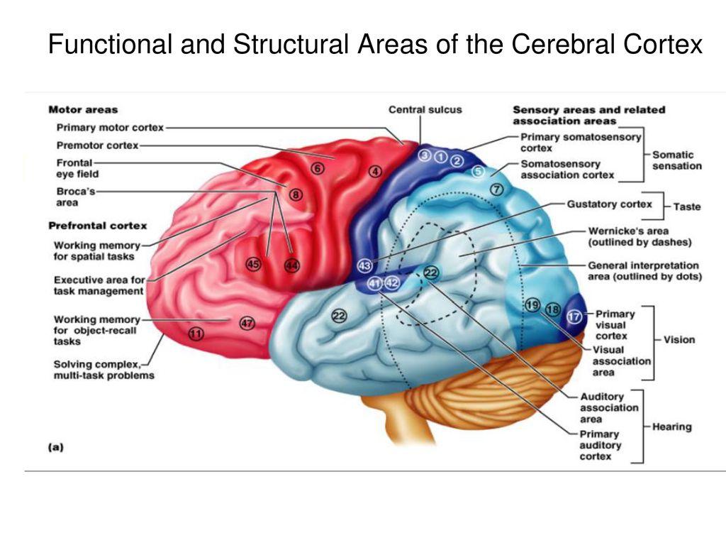 Le molte aree cerebrali per comprendere e produrre un linguaggio