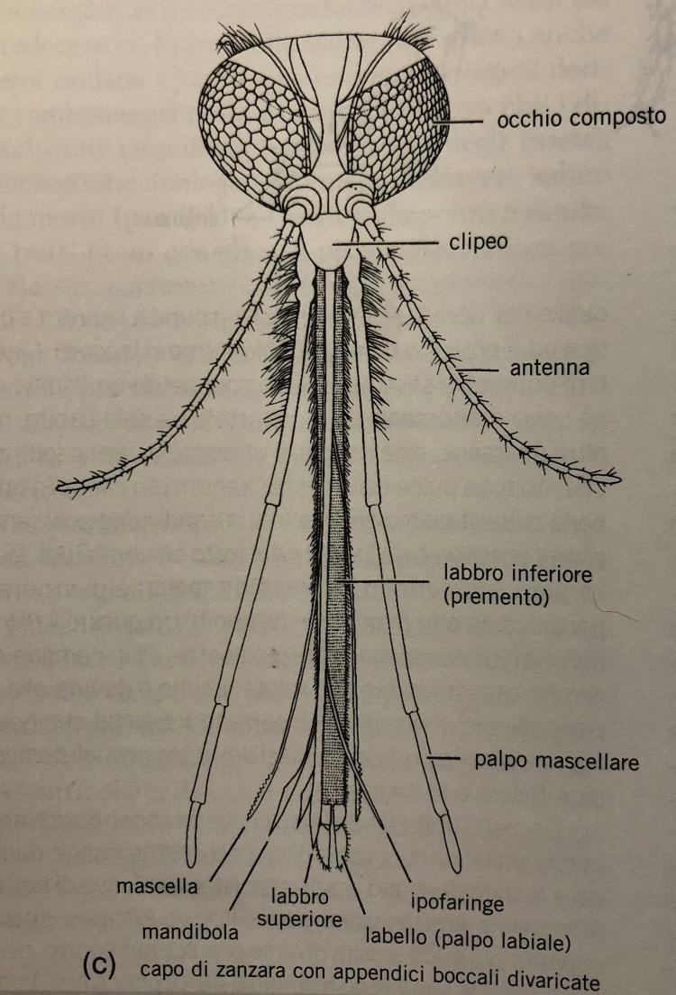 Allontanare le zanzare: anatomia della zanzara