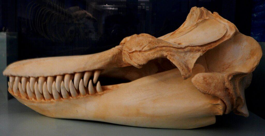 Teschio di orca