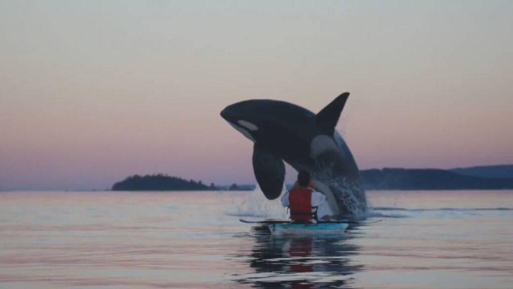 """Un'orca """"fa breaching"""" difronte a un uomo"""
