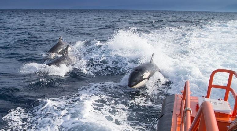 Orche inseguono natante