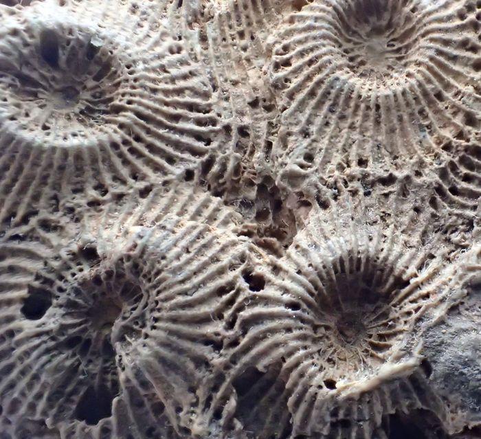 Coralli fossili