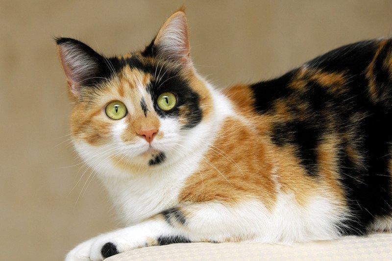 perché i gatti di tre colori sono sempre femmine?