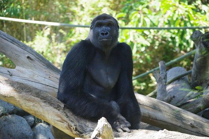 gorilla dello zoo di san diego