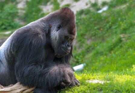Covid-19, ecco i primi gorilla risultati positivi all'infezione
