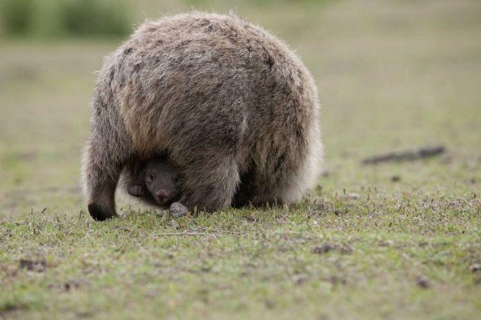 Forse abbiamo capito come fanno i wombat a fare la cacca a cubetti. Credits: Australian Wildlife Journeys