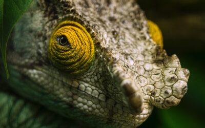 Camaleonte: un segreto fotonico dietro ai suoi colori