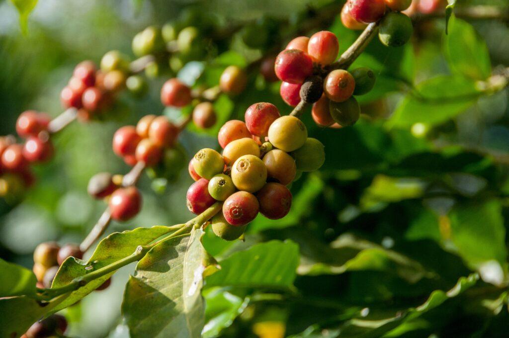 particolare pianta di caffè