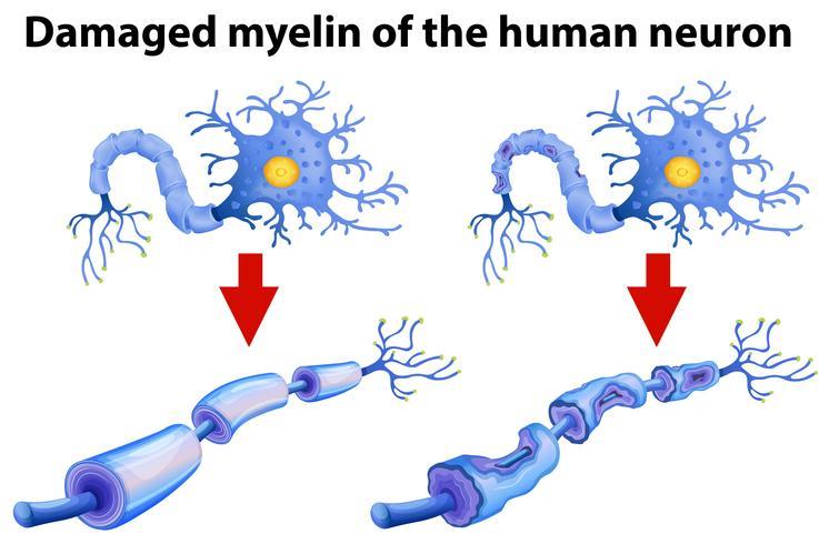 Dormire rigenera la mielina