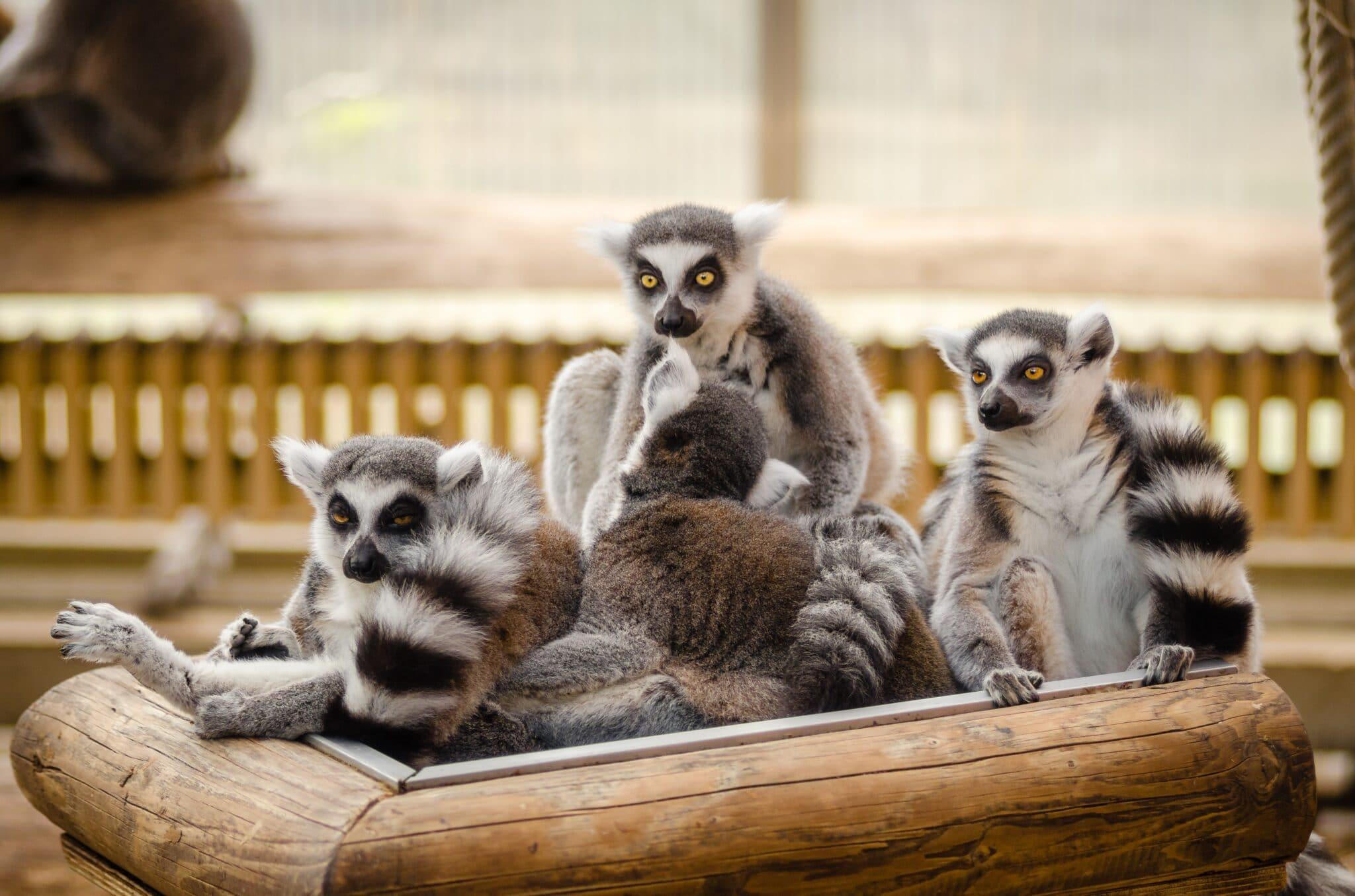 Sono state trovate prove di resistenza agli antibiotici nella pancia dei lemuri