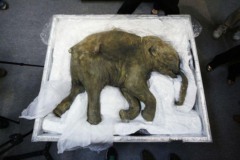 Perché una società sta cercando di riportare in vita il mammut lanoso? Credits: Aaron Tam/AFP/Getty Images